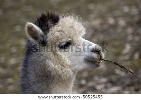 Llama is chewing a twig and smiles.(Lama guanicoe f. pacos) - stock photo