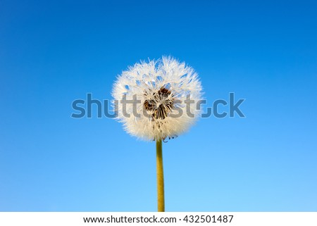 lone dandelion and blue sky