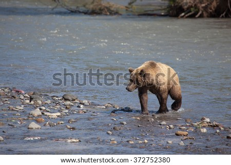 lonely brown bear on a river. Kamchatka