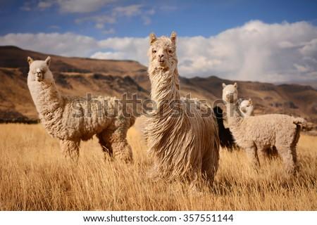 """Long hair"" llamas in Mountains, Andes, Peru - stock photo"