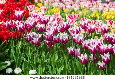 lot of color tulips in a garden