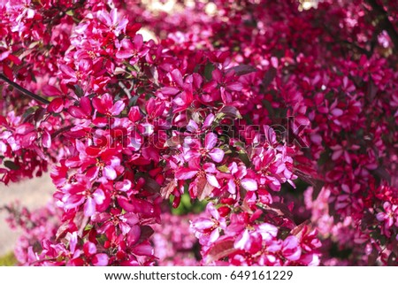 red cherry blossoms stock photo safe to use 649161229 shutterstock