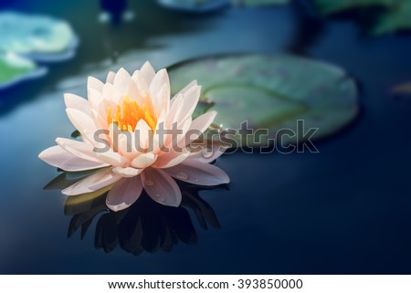 Lotus flower  in pond - stock photo