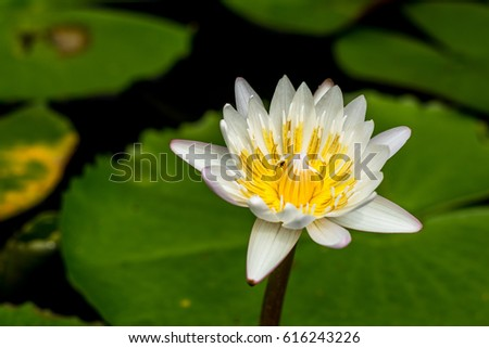 Lotus Flower Meanings On Pinterest Thailand Stock Photo Safe To Use