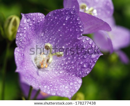 ��?luebell with drops of dew