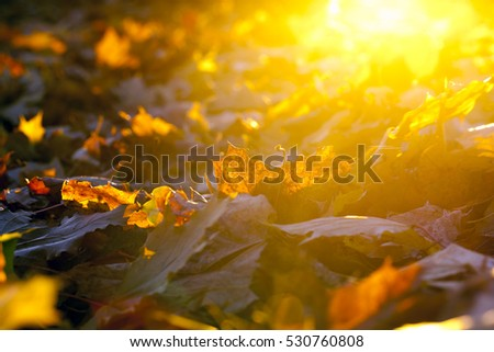 lying on the ground maple foliage The fallen during the autumn season. Photo taken closeup. Small depth of field. Sunny weather and foliage visible sun rays