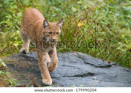 Lynx close-up - stock photo