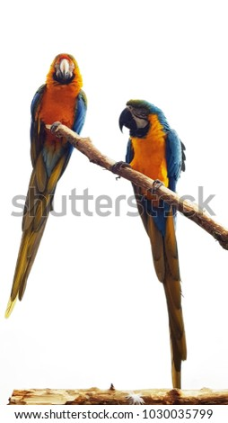 stock-photo--macaws-sitting-on-a-branch-