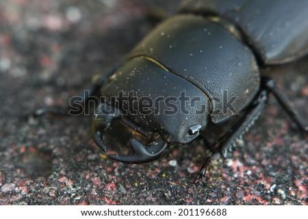 Macro of a female stag beetle (Lucanus cervus). - stock photo