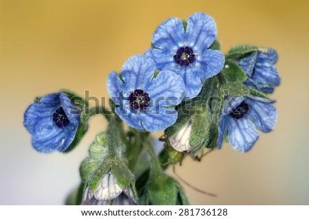 macro of the wildflower Cynoglossum creticum.Spain - stock photo