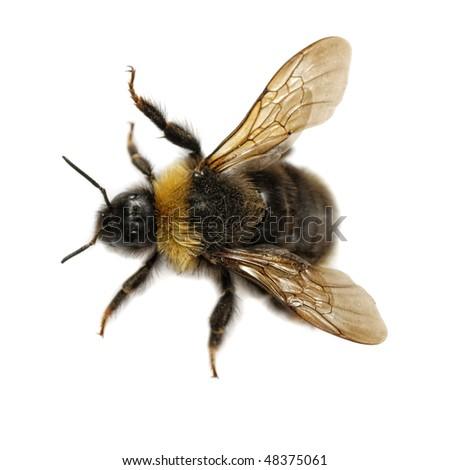 macro top view of bumblebee on white background - stock photo