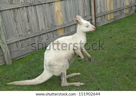 (Macropus rufus) red kangaroo, the largest mammal native to Australia, and the largest extant marsupial. It is found across mainland Australia, This one is albino with no pigments on it skin. - stock photo