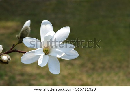 Magnolia flower  on a dark green background (it is possible to use as a postcard with a place for the text on right