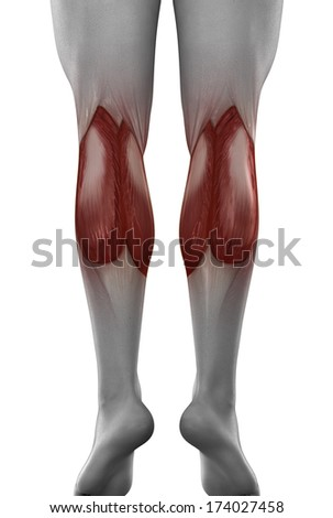 male GASTROCNEMIUS anatomy posterior view isolated - stock photo