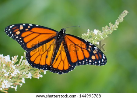 Male Monarch butterfly feeding on a white flowers of a butterfly bush against summer green background - stock photo