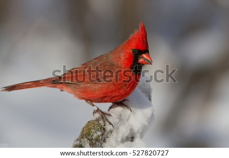 Male Northern Cardinal in snow