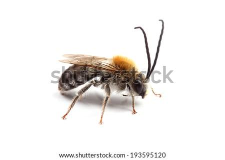 Male of bee (Eucera sp.) isolated on white - stock photo
