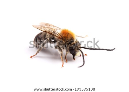 Male of bee (Eucera sp.) isolated on white - stock photo