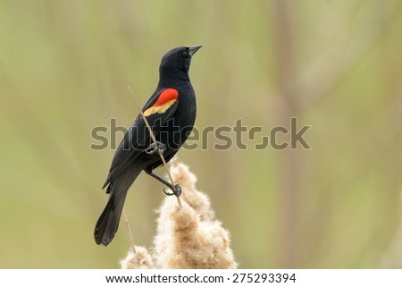 Male Red-winged blackbird perched on some reeds. - stock photo
