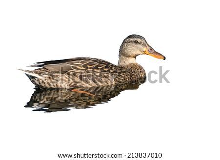 Mallard duck female on white background  - stock photo