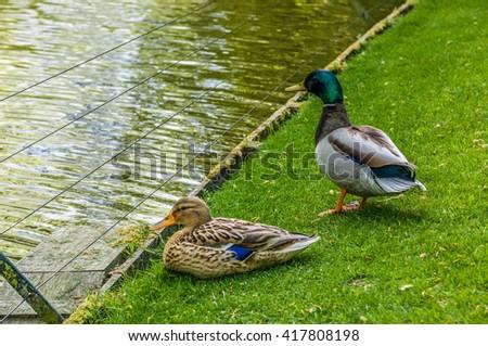 2 Mallard Ducks sitting near the water on green grass. - stock photo