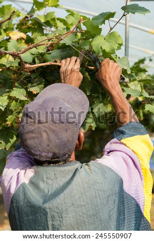 Man pruning the grapevine inside vineyard.