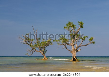 2 mangrove tree's standing in the water on the island Siquijor, Philippines.