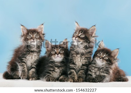 Many Maine Coon Kitten side by side