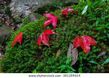 5 Maple leafs are set on top of the lush green moss in the forest during autumn at Phu kradung National Park, Thailand, Asia - stock photo