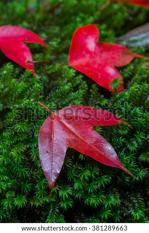 3 Maple leafs are set on top of the lush green moss in the forest during autumn at Phu kradung National Park, Thailand, Asia