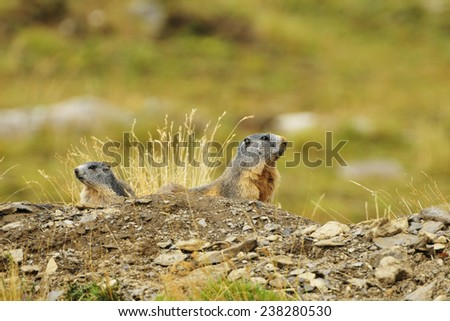 2 marmots observe their surroundings. - stock photo