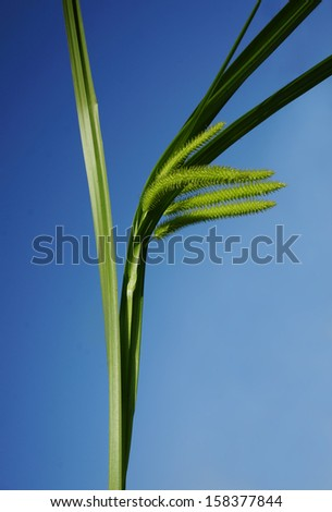 marsh water green grass plant  on blue sky  background                     - stock photo