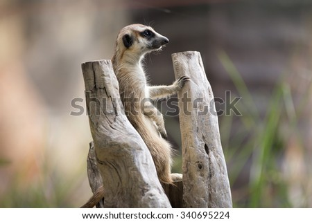 meercat stand on the branch - stock photo