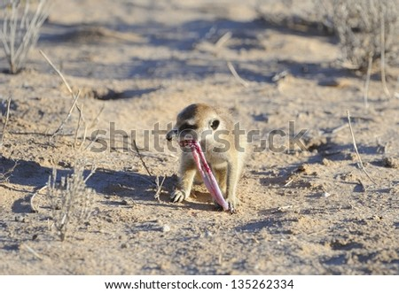 Meerkat or Suricate (Suricata suricata)  feeding on a worm snake it has dug out in the Kalahari desert. Meerkats are small mongoose like predators that live in social family colonies. - stock photo
