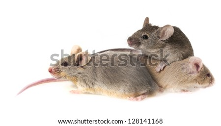 mice isolated on a white background - stock photo