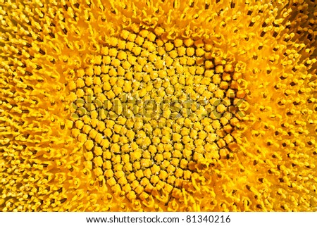 middle of sunflower - stock photo