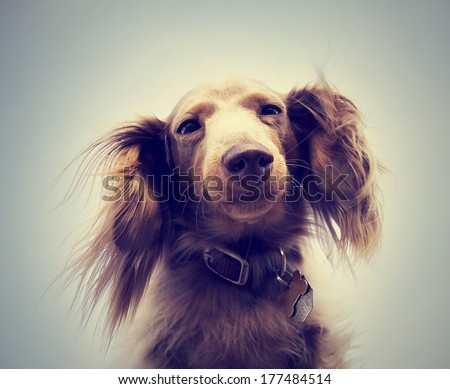 miniature long haired dachshund with blue sky done with a retro instagram vintage filter - stock photo