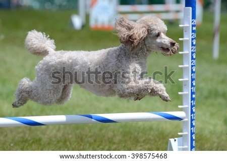 Miniature Poodle Leaping Over a Jump at a Dog Agility Trial - stock photo