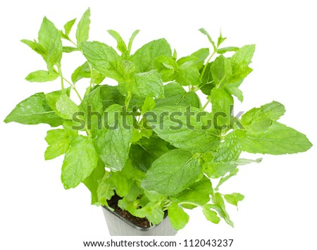 Mint herb growing in a  pot  isolated  on white background