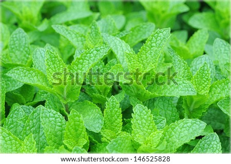 mint trees in garden under sunny  - stock photo