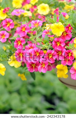 mix petunia flowers in the garden for background uses  - stock photo