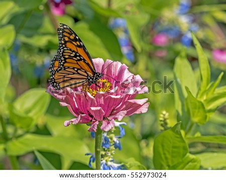 monarch butterfly (Danaus plexippus) is a milkweed butterfly subfamily Danainae in the family Nymphalidae