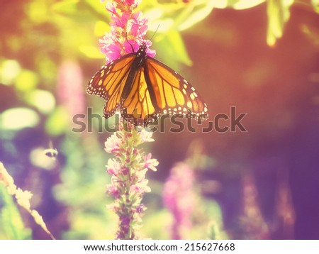 Monarch Butterfly on some purple flowers toned with a retro vintage instagram filter  - stock photo