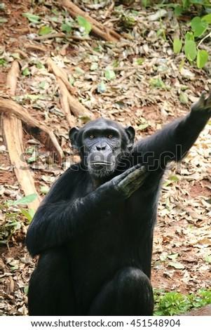 Monkey ,Chimpanzee - stock photo