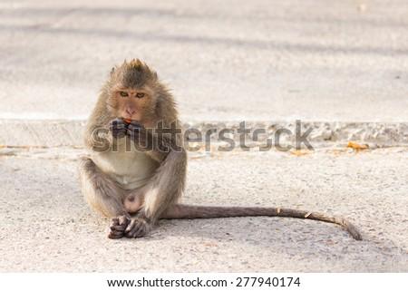 Monkey eating papaya - stock photo
