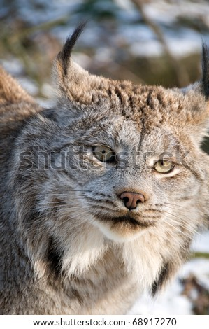 9-month kitten of Canadian lynx.