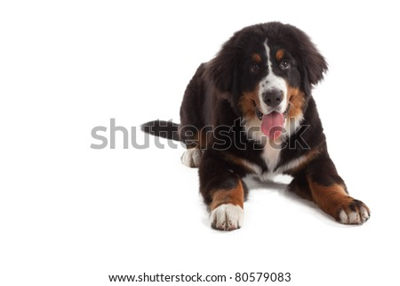 5 month old bernese mountain dog in studio on white isolated - stock photo