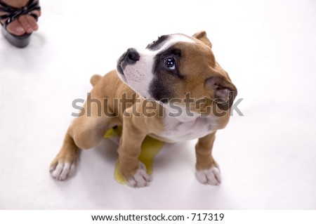 3 month old Boxer puppy caught peeing during the shoot!
