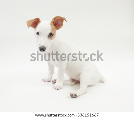 3-months old female jack russell terrier sitting on a white background.