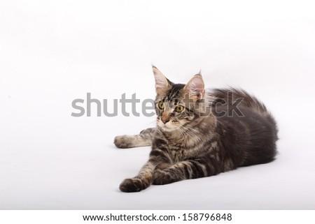7 months old Maine Coon Kitten - stock photo